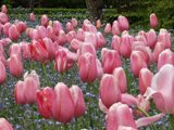 tulipanes2.jpg