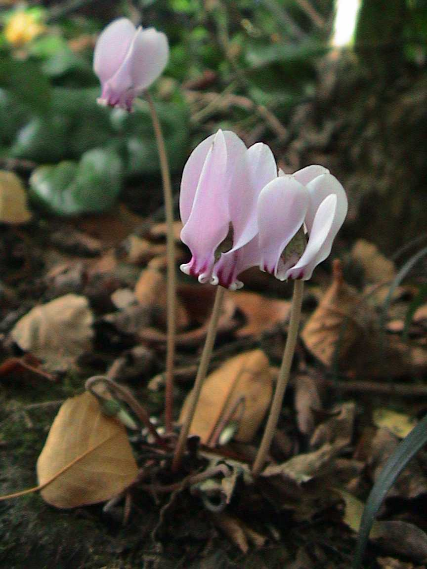 Cyclamen_hederifolium