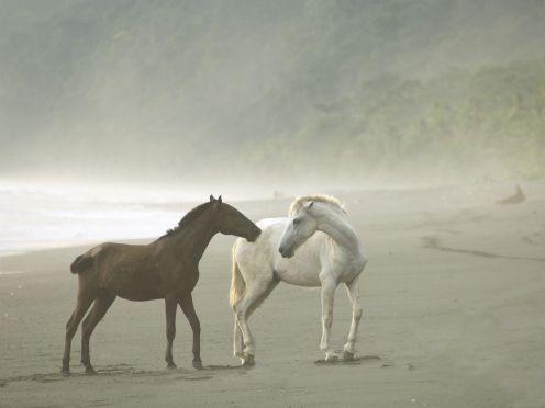 Wild_Horses_in_Fog_Osa_Peninsula_Costa_Rica