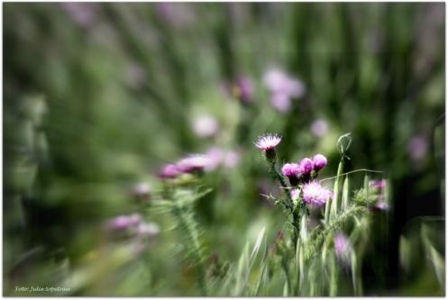 cardos en flor
