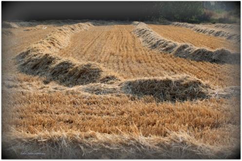 El campo recién segado para mi Musa