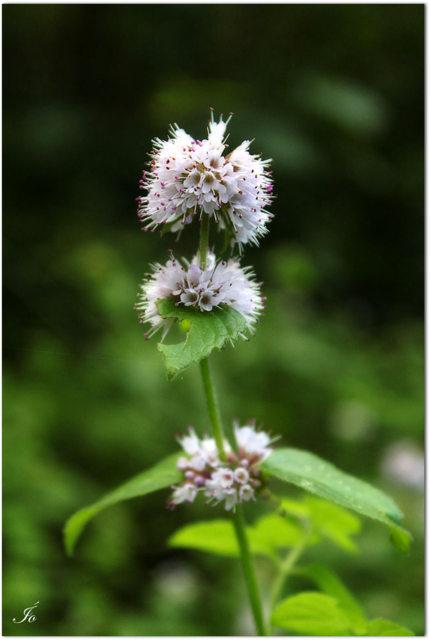 Flor del bosque para Julie (1)