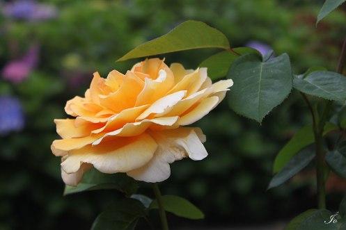 Rosa para Julie
