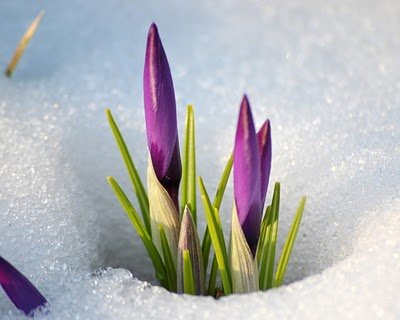 Nature_Flowers_From_under_snow_027856_