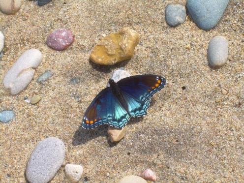 Butterfly_on_the__Beach_DMThompson.24662517_std