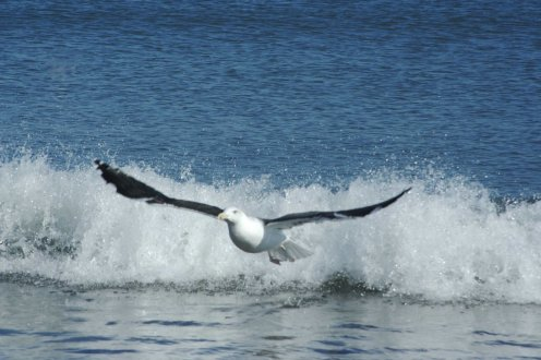 seagull-flying