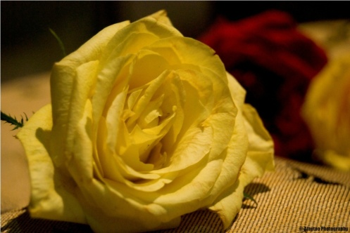 a-light-yellow-rose-ajaytao