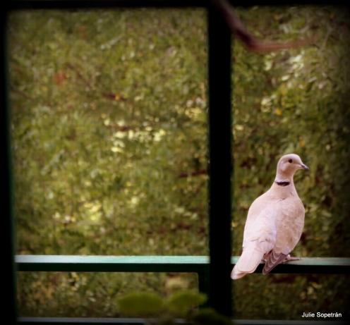 Tórtola en la ventana