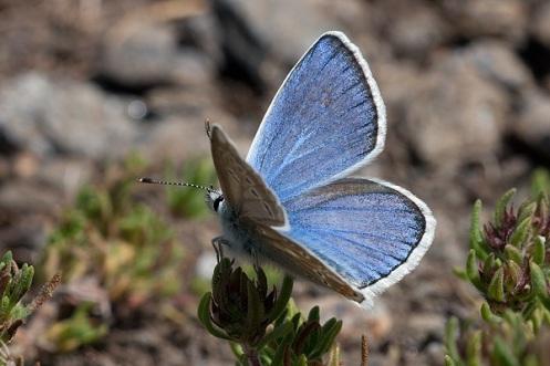 1350-Polyommatus-golgus